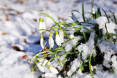 Snowdrops flowers in snow at early spring — Stock Photo