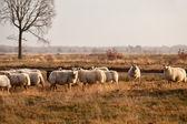 Sheep herd on meadows in Dwingelderveld — Stock Photo