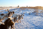 Goat herd on snow pasture — Stock fotografie