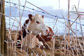 Cow in winter outdoors — Stock Photo
