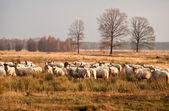 羊畜群 dwingelderveld 在日落前 — 图库照片