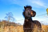 Brown pony on pasture — Stock Photo