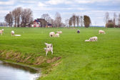 White lambs with sheep on Dutch pastoral — Stock Photo