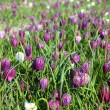 Fritillaria meleagris, flowers of snake's head fritillary (snake — Stock Photo