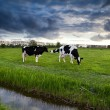 Black and white cows on pasture before sunset — Foto Stock