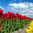 Red tulips over blue sky — Stock fotografie
