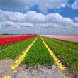 Tulip fields in Alkmaar — Stock Photo