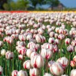 Red and white tulips in spring time — Stock Photo #27897805