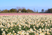 Dutch fields witn many daffodils and hyacinths — Stock Photo