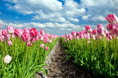 Beautiful pink tulips over blue sky — Stock Photo