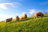 White sheep on spring sunny pasture — Stock Photo