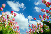 Pink tulips over blue sky — Stock Photo