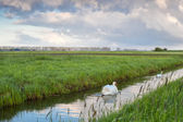 White swan on canal in morning — Stock Photo