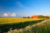 Farm, windmill and canola fields under blue sky — Stock Photo