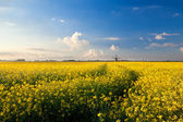 Yellow canola field, blue sky and windmill — Stock Photo