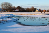 Wild waterfowl on frozen lake in winter — Stock Photo