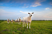 Sheep herd on pasture — Stock Photo