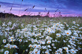 Daisy flowers at pink sunset — Stock Photo