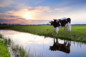 Two milk cows by river at sunset — Stock Photo