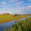 Cattle on Dutch farmland — Stock Photo #28156697