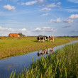 Foto de Stock  : Cattle on Dutch farmland