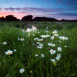 Foto de Stock  : Daisy flowers at sunset
