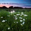 Stock Photo: Daisy flowers at sunset