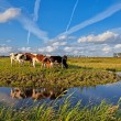 Stock Photo: Cows on pasture over blue sky