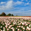 Stock Photo: Red and white tulipd on Dutch spring fields