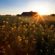 ストック写真: Rising sun over rapeseed field