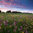 Stockfoto: Pink wildflowers at sunset