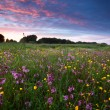 Foto de Stock  : Pink wildflowers at sunset