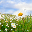 Daisy flowers on summer meadow — Stok Fotoğraf #28157689