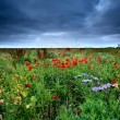 Field with red poppy flowers — Stock Photo