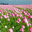 Field with pink tulips — Stock Photo