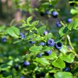 Stock Photo: Blueberry shrubs with berry