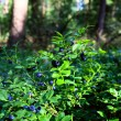 Stock Photo: Blueberry shrubs in forest