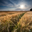 Golden wheat field before sunset — Stock Photo