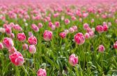 阳光透过粉红郁金香 — 图库照片