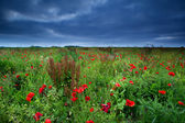 Many red poppy flowers and storm — Stock Photo