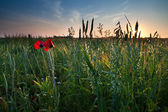 Poppy flowers and oat on field — Stock Photo