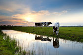 Cows grazing on pasture at sunset — Stock Photo