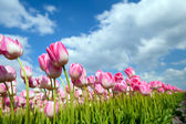 Many pink tulips on field — Stock Photo