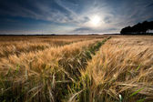 Campo di grano dorato prima del tramonto — Foto Stock
