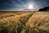 Golden wheat field before sunset — Stock Photo