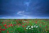 Fältet med vallmo och daisy blommor — Stockfoto