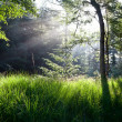 Sunbeams in green forest — Stock Photo