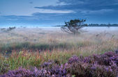 Heather flowers on swamp in misty morning — Stock Photo