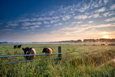Cows and bull on pasture at sunrise — Stock Photo