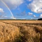 Rainbow over wheat field in summer — Stock Photo #31417205